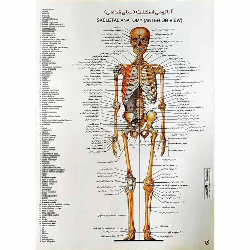 پوستر آناتومی اسکلت (نمای قدامی)