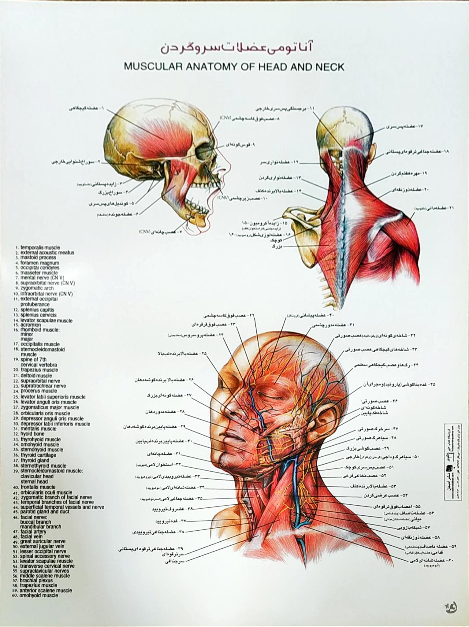 پوستر آناتومی عضلات سر و گردن