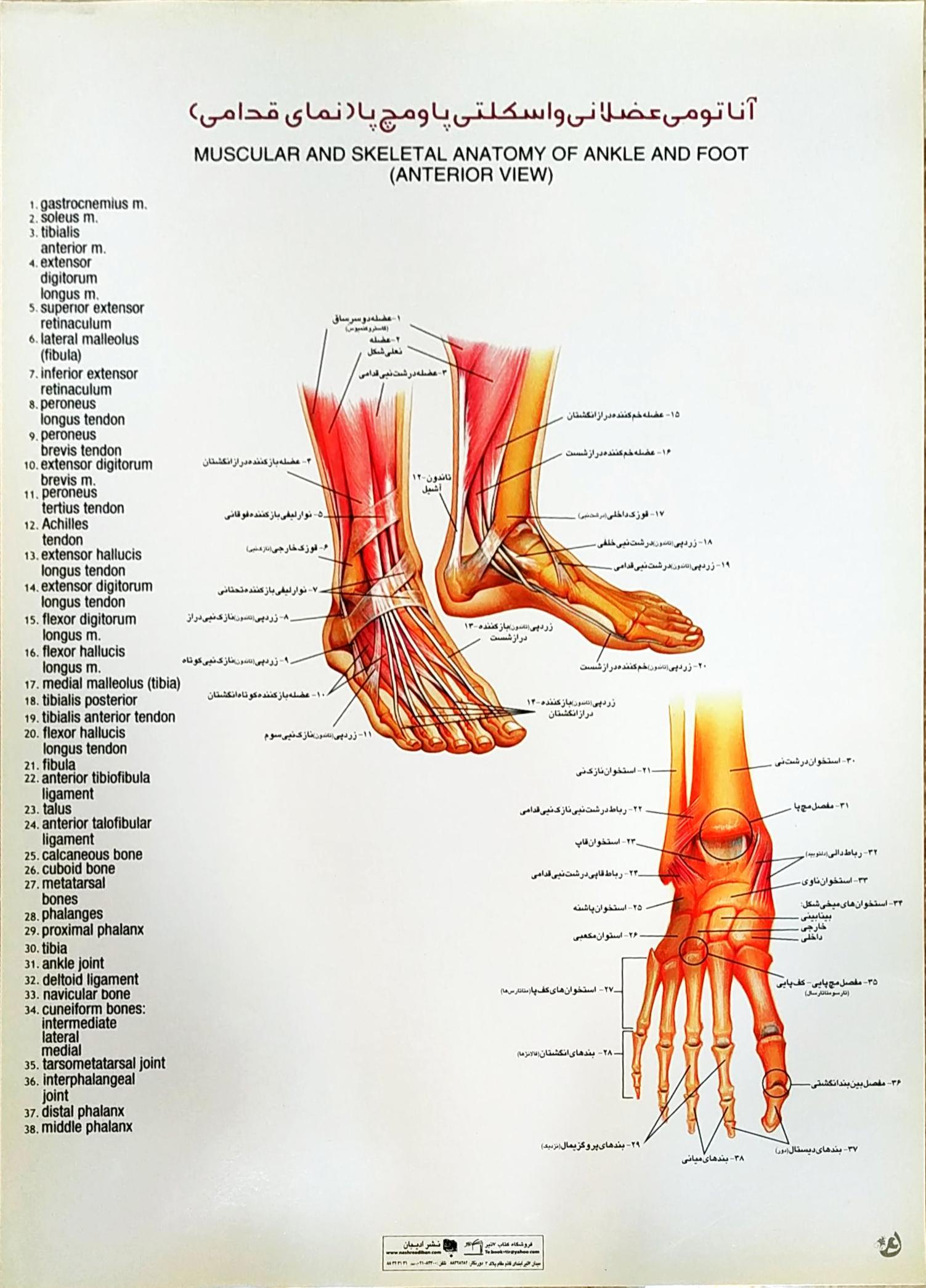 پوستر آناتومی عضلانی و اسکلتی پا و مچ پا