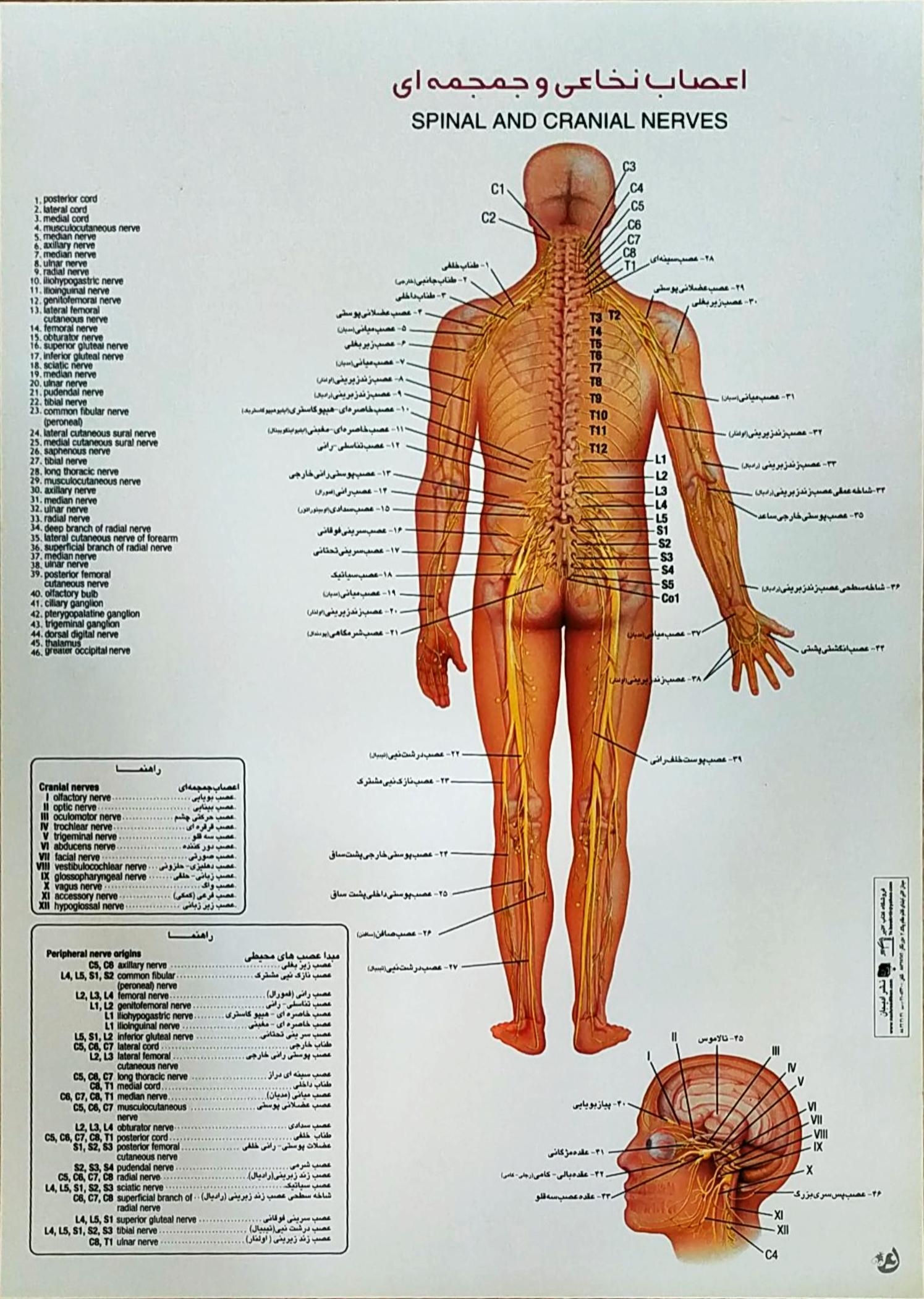 پوستر اعصاب نخاعی و جمجمه ای