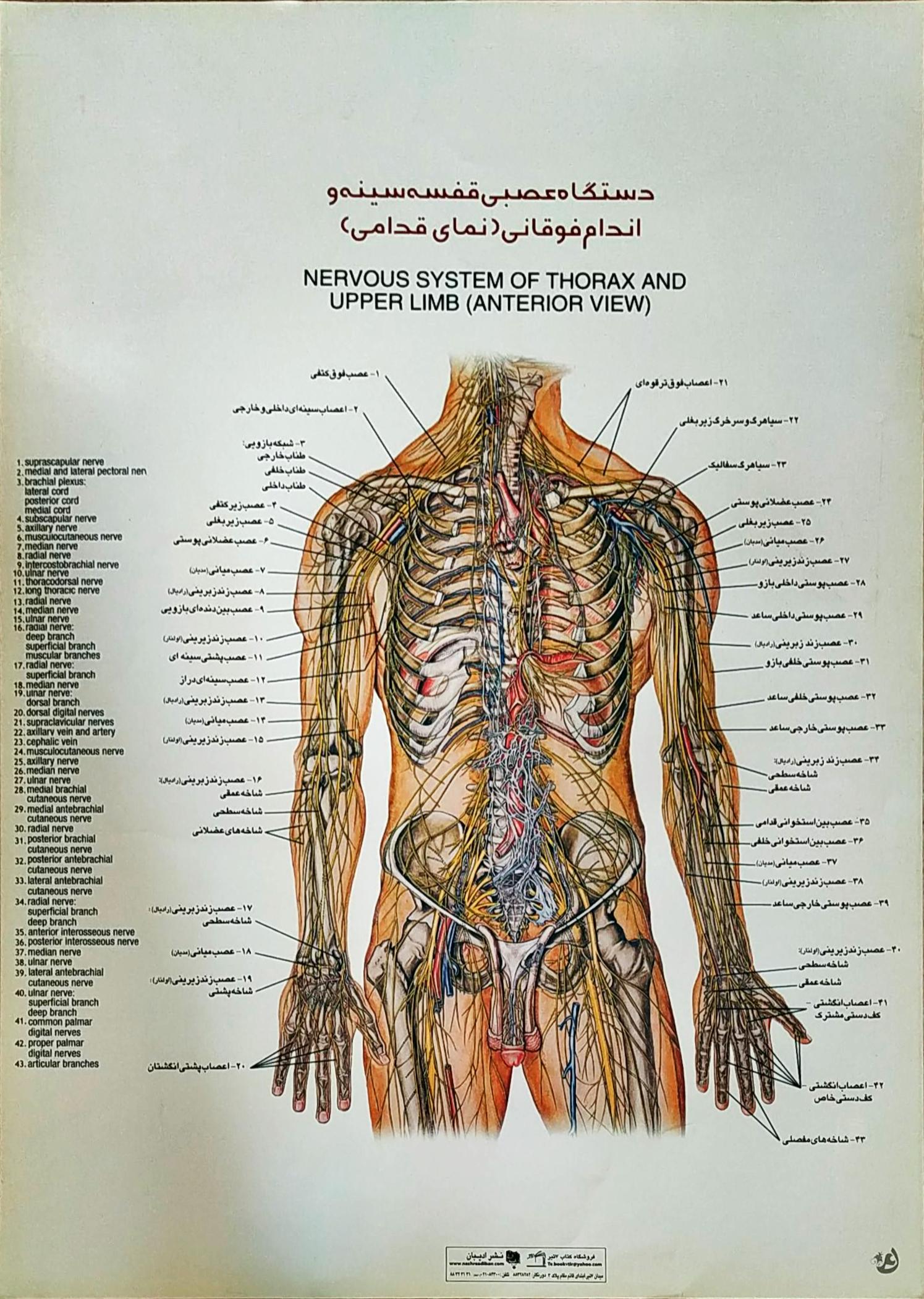 پوستر دستگاه عصبی قفسه سینه و اندام فوقانی
