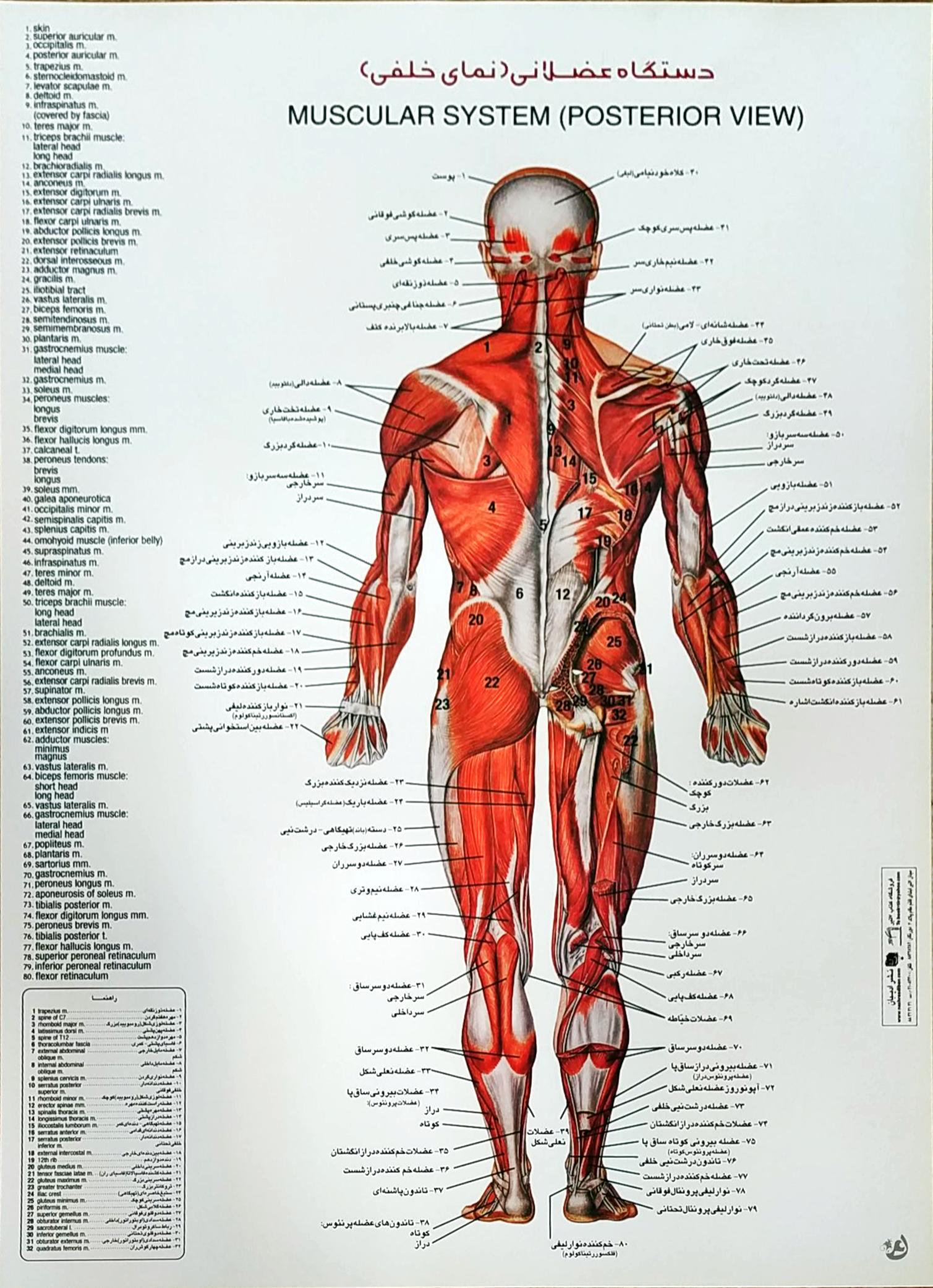 پوستر دستگاه عضلانی (نمای خلفی)