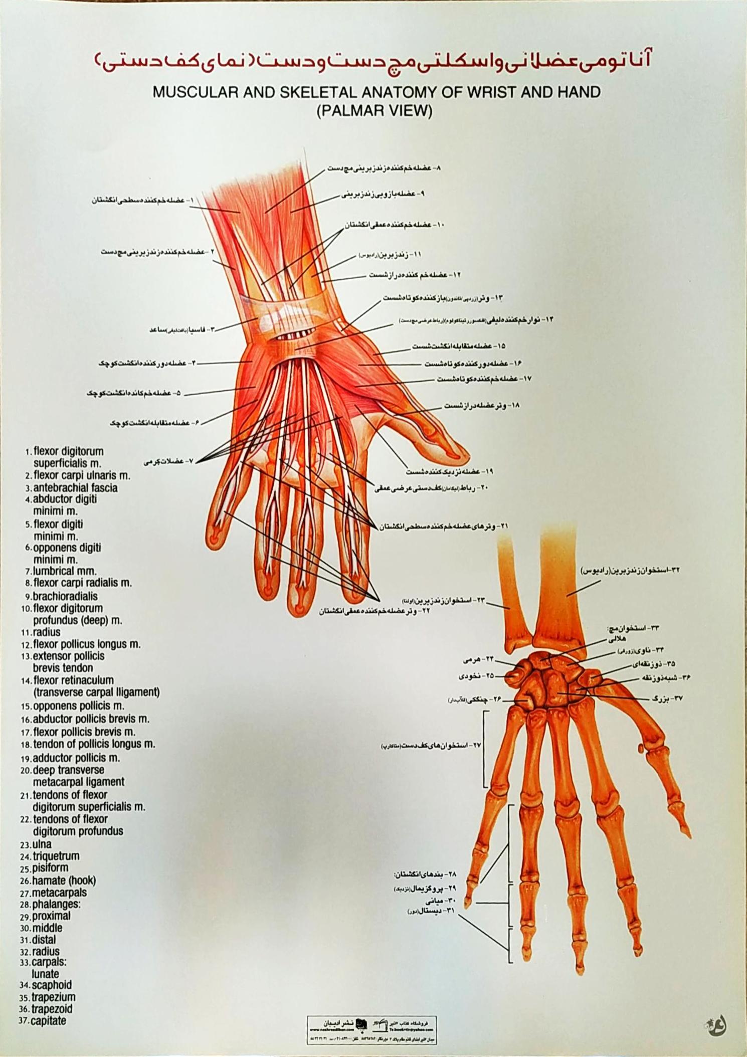 پوستر آناتومی عضلانی و اسکلتی مچ دست و دست (نمای کف دست)